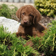 Chesapeake Bay Retriever puppy in beautiful garden