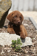 Chesapeake Bay Retriever puppy on stone