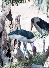 Two Marabou Storks making a nest in a tree