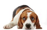Beagle dog - Fine Art prints