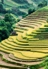 Terraced fields being harvested, Mu Cang Chai district, Yen Bai