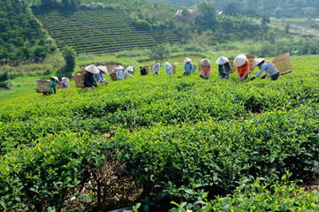 Tea pickers in Lam Dong province, Vietnam