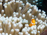 clown fish small