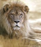 Lion - Fine Art prints
