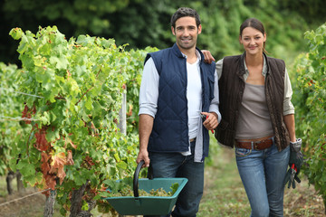 couple collecting grapes from vines