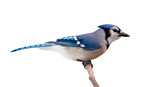 Bluejay Profile