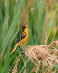 Oriole in Grasslands