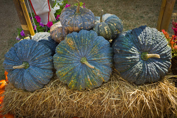 Green pumpkins on the hay.