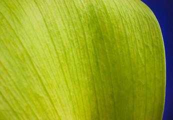 Tulip leaf close up macro environmental concept