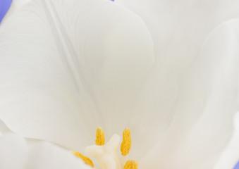 White tulip flower macro petals.