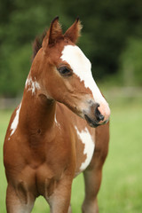 Portrait of nice Paint horse filly