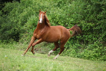 Young sorrel solid paint horse running