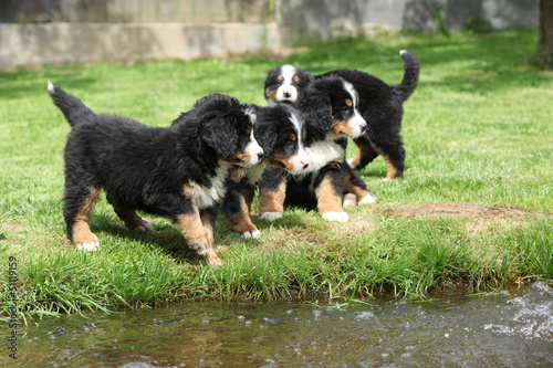Group of Bernese Mountain Dog puppies