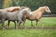 Welsh ponnies running in autumn