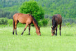 Horses in meadow