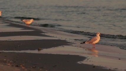 Sea gull on the sand beach in the summer evening