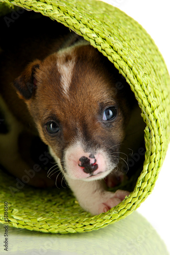 Beautiful little puppy in basket isolated on white