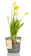 Beautiful yellow daffodils in wicker basket isolated on white