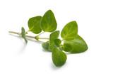 Herbs Series - Oregano