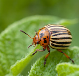 Potato bug on green sheet