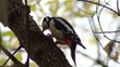 Great Spotted Woodpecker