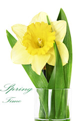 Beautiful spring single flower: yellow narcissus (Daffodil)