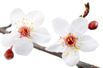 Branch with blossoms. Isolated on white background.