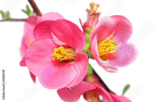 Flowers of Chaenomeles Japonica (Japanese Quince) blossoming.  I