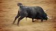 falling bull in the bullring. Powerful spanish bull