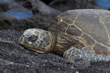 Hawksbill Turtle in Hawaii