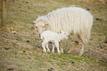 First steps of newborn lamb