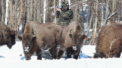 European Bison in winter among trees