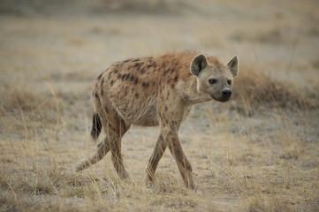 Hyena walking in the Savannah