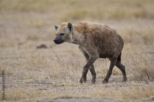 Hyena walking in the Savannah