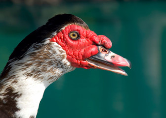 Muscovy Duck head close-up