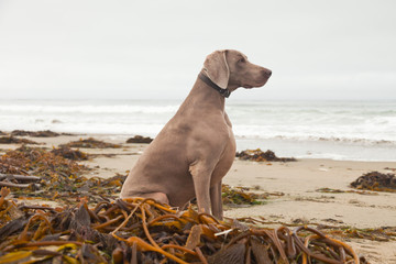 Weimaraner dog on the beach with kelp. San Simeon. USA. Californ