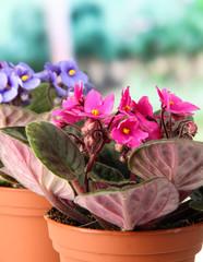 Bright saintpaulias in flowerpots, on natural background