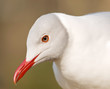 Portrait of grey-headed gull (Chroicocephalus cirrocephalus)