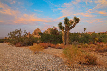 Joshua Tree National Park at sunset. USA. California.