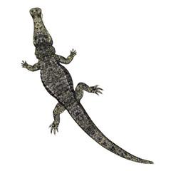 Krokodil von oben