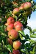 Erntereife rote Äpfel am Ast