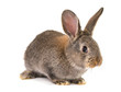 gray rabbit isolated