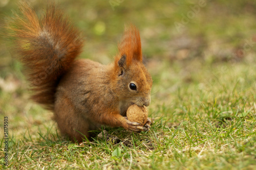 Red squirrel on grass eating walnut