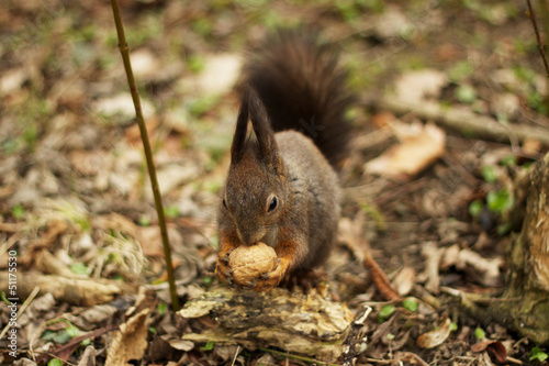 Grey squirrel in the woods eating a walnut
