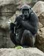 Big black gorilla  sitting rock and eating