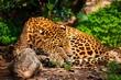 Gorgeous leopardess in natural habitat