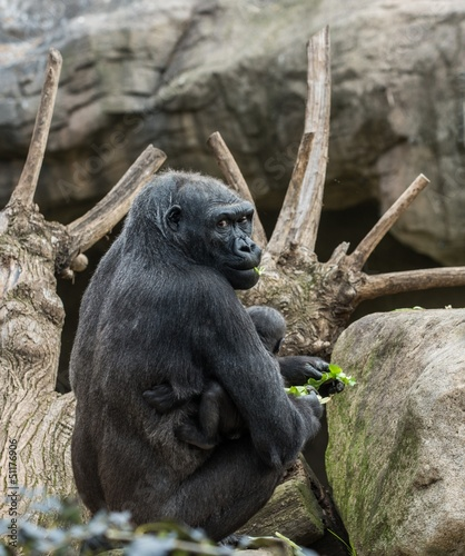 Black gorilla with her baby