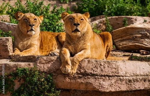 Tow wspaniały lwica w naturalnym środowisku