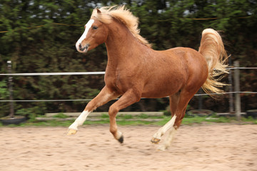 Welsh pony stallion chestnut with blond hair