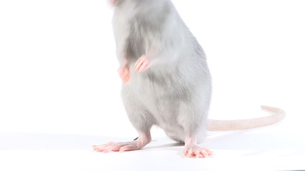 Rat run, in the studio on a white background